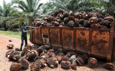 Rats, drought and labour shortages eat into global edible oil recovery